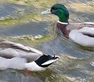 pair_of_ducks_1